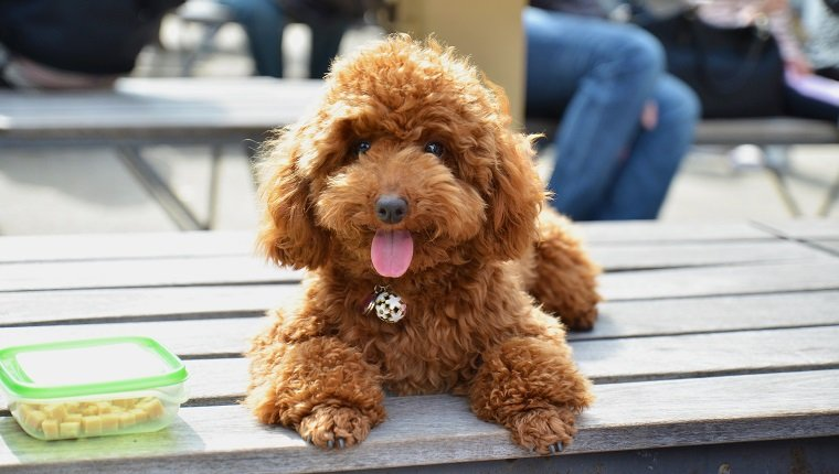 Toy Or Miniature Poodle