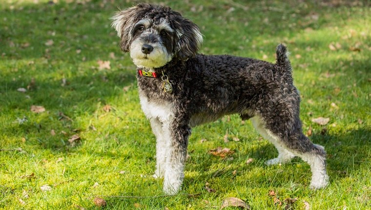 Toy Or Miniature Schnoodle
