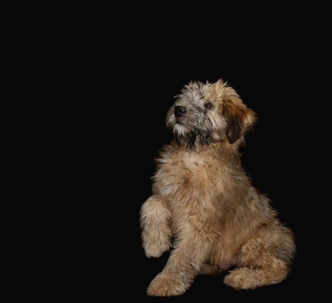 Soft Coated Wheaten Terrier Dogs And Puppies