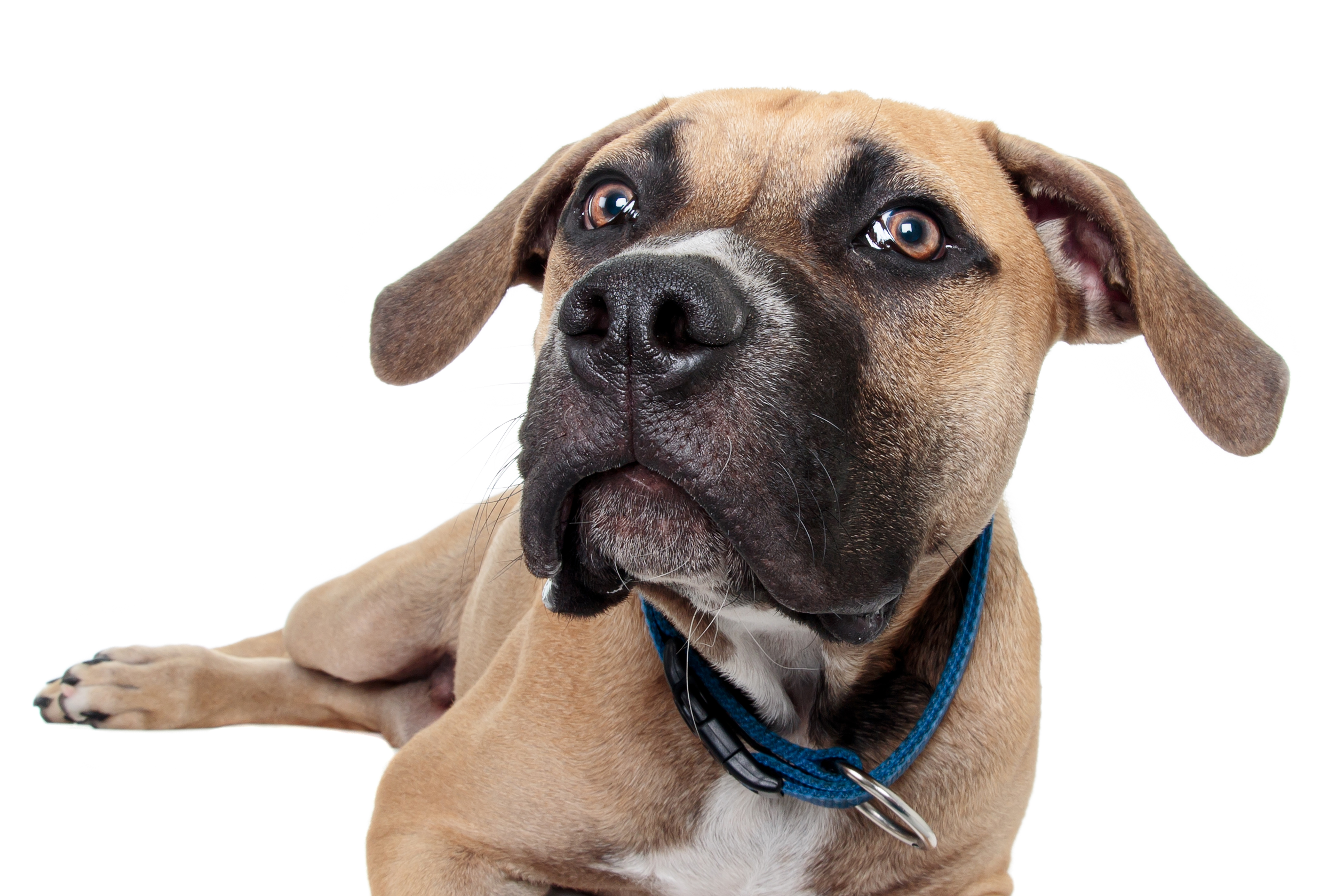 Staffy Bull Bullmastiff Mixed Dog Breed Pictures