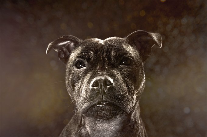 Staffordshire Bull Terrier Picture