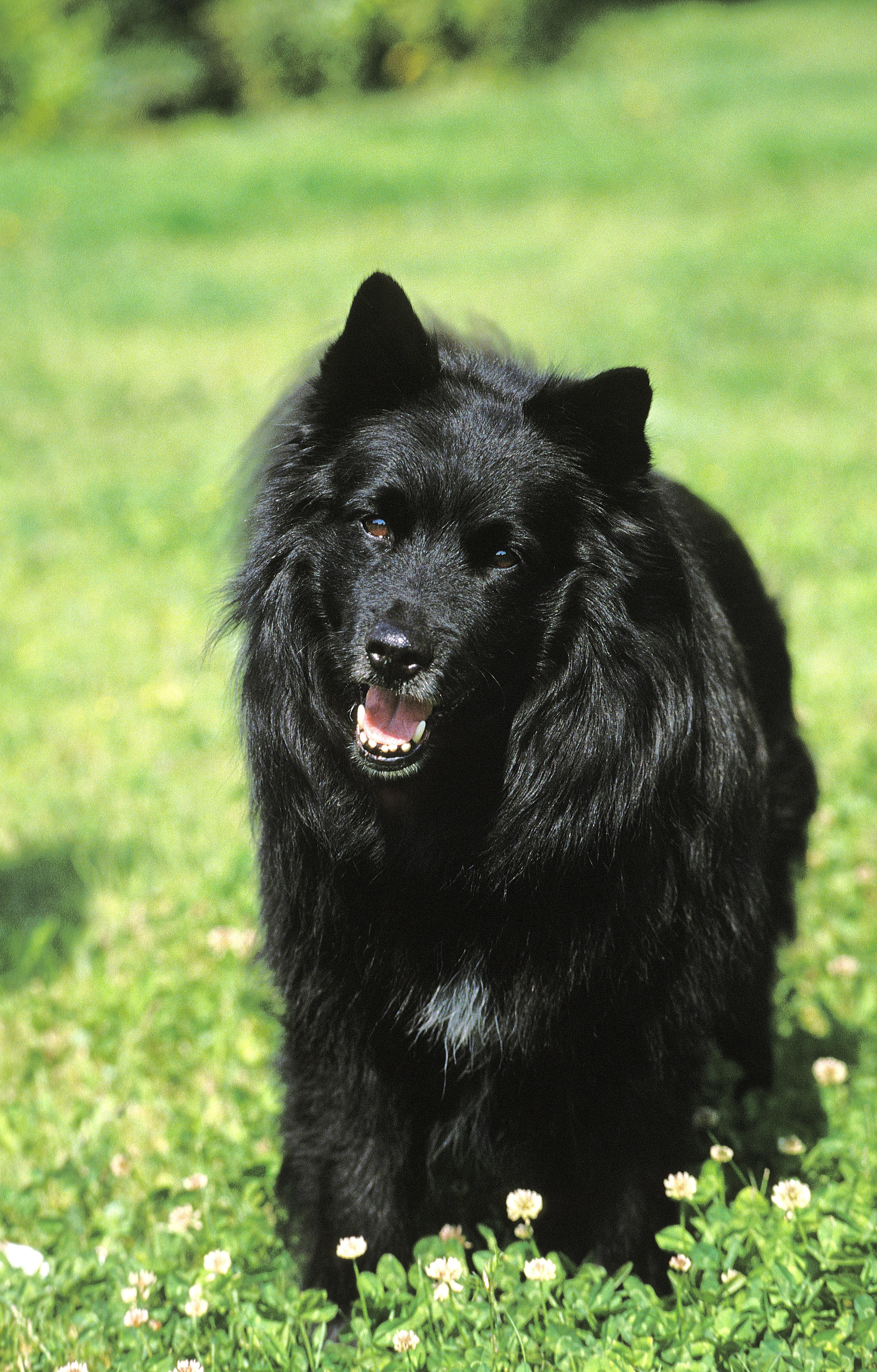 Swedish Lapphund Dog Breed Pictures