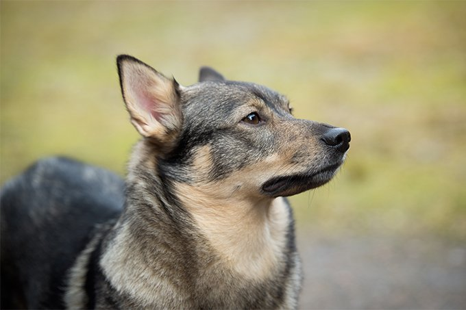 Swedish Vallhund Dog Breed Picture