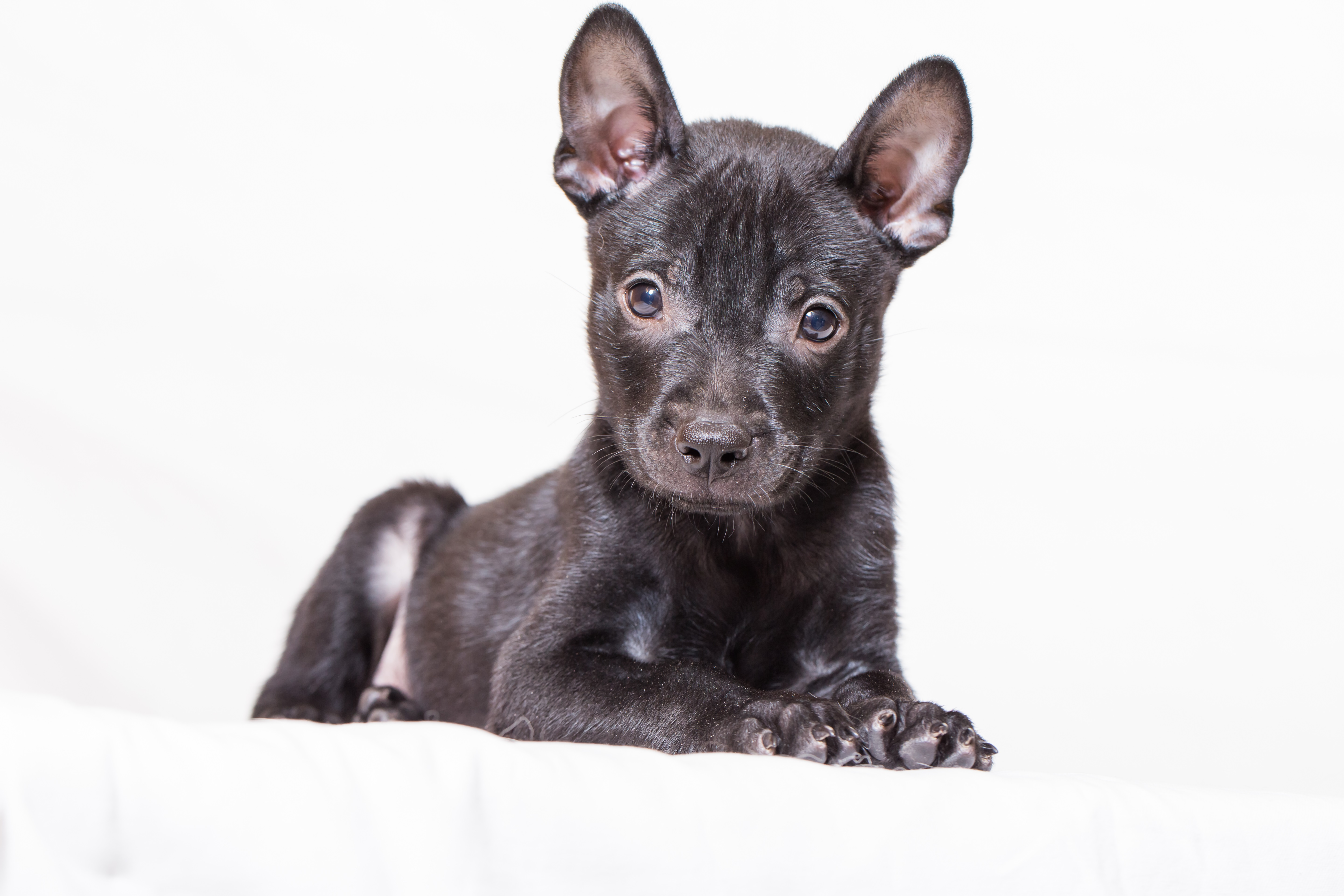 Taiwan Dog Breed Pictures