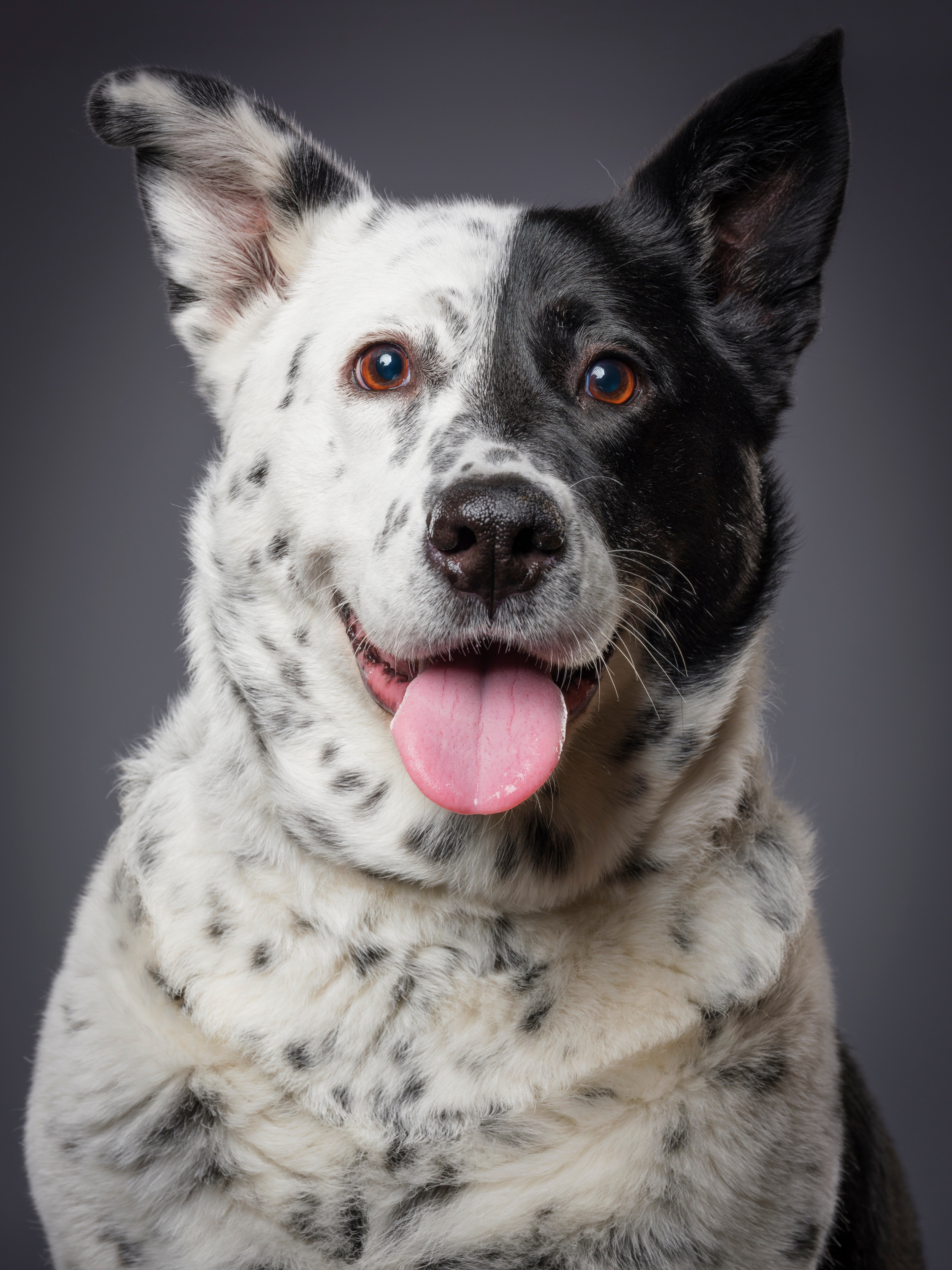 Texas Heeler Mixed Dog Breed Pictures
