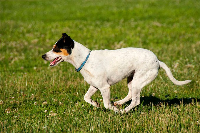 Toy Fox Terrier Dog Breed Picture