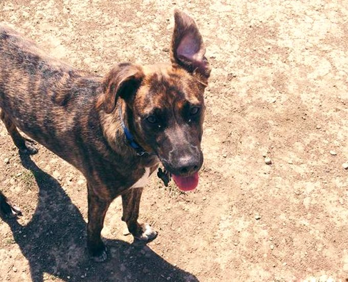 Treeing Tennessee Brindle Dog Breed Picture