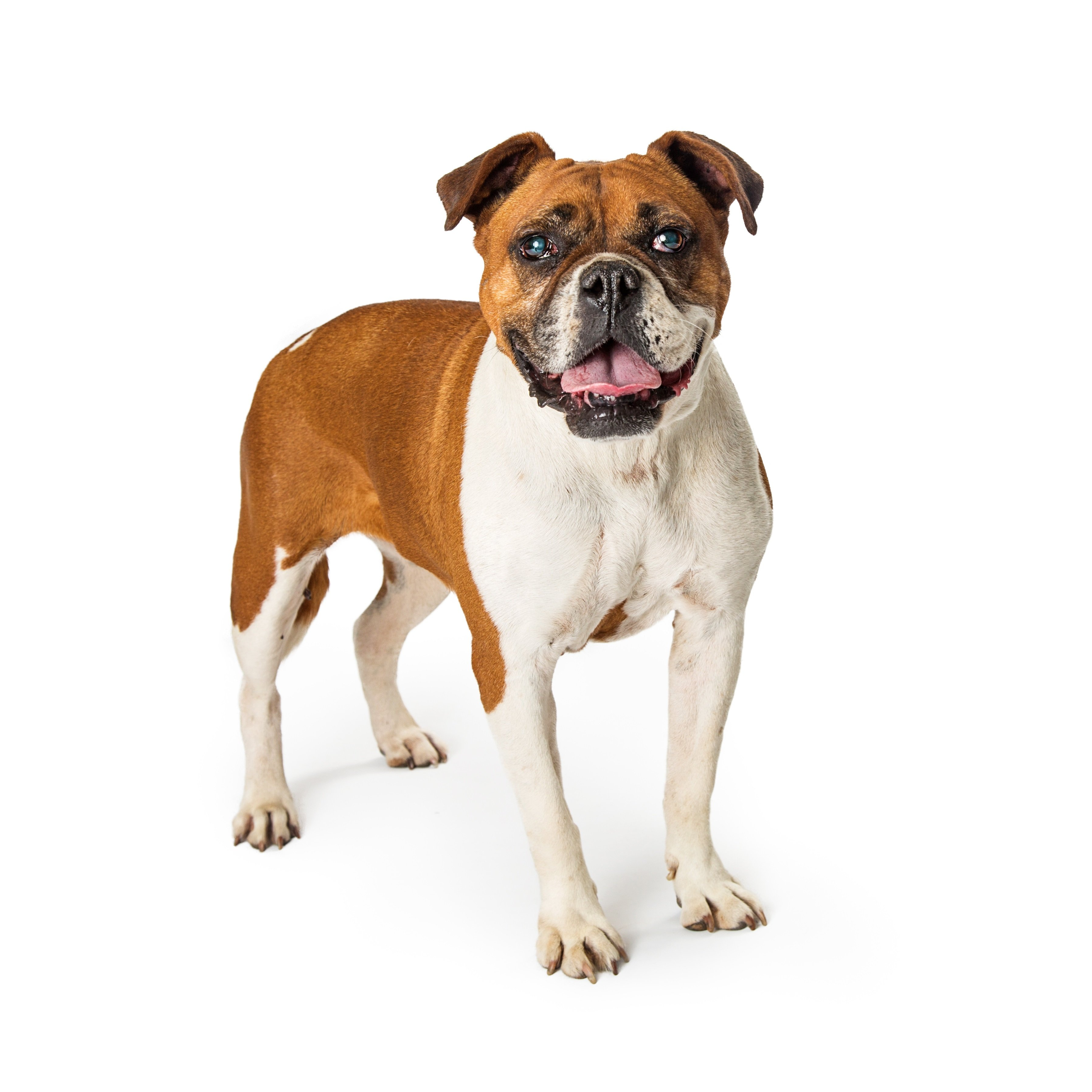 Valley Bulldog Mixed Dog Breed Pictures