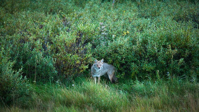 Avoid Places Where Coyotes Can Hide