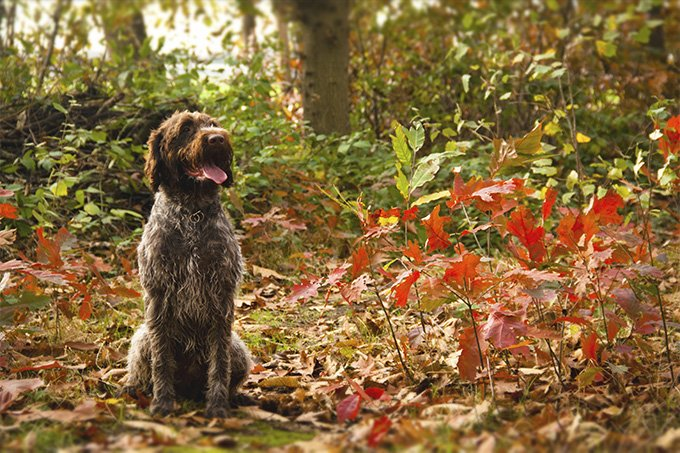 Wirehaired Pointing Griffon Dog Breed Picture