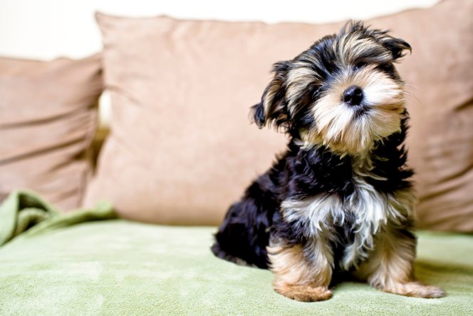 Yorkshire Terrier Dog Breed Picture
